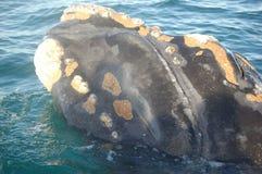 注意的鲸鱼 库存图片
