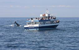 注意的鲸鱼 图库摄影