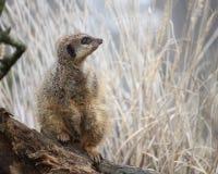 注意lo的meerkat或suricate海岛猫鼬类suricatta 库存图片