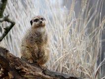 注意lo的meerkat或suricate海岛猫鼬类suricatta 库存照片