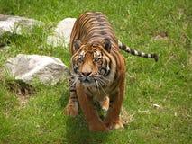 注视他的西伯利亚老虎您 图库摄影