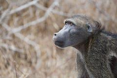 注视入天空的狒狒 免版税库存图片