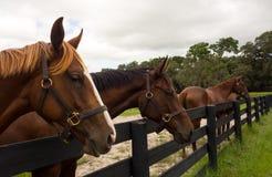 注视在小牧场篱芭的美丽的一岁训练设施在佛罗里达 免版税库存图片