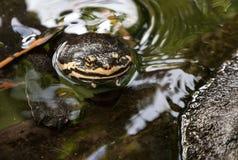 注视在水的乌龟 库存图片