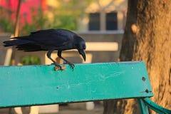 注视它的令人不安地可口富饶,一只吃人肉黑乌鸦运载在它的爪的炸鸡,在公园长椅 库存照片