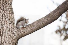 注视我的灰鼠 免版税图库摄影