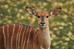 注视林羚 免版税库存图片