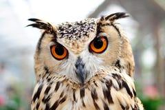 注视橙色猫头鹰
