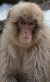 注视照相机的雪猴子 免版税库存图片