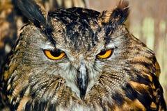 注视猫头鹰 免版税图库摄影