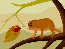 注视甲虫的狐猴 库存图片
