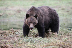 注视的北美灰熊眼睛 库存照片