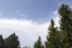 注视着冷杉和杉树上面反对与两朵小白色云彩的深蓝色夏天天空,离开室为文本 免版税图库摄影
