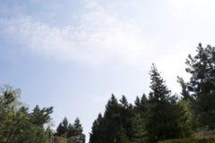 注视着冷杉和杉树上面反对与两朵小白色云彩的深蓝色夏天天空,离开室为文本 图库摄影