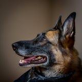 注视着天花板的愉快的资深德国牧羊犬 免版税库存照片