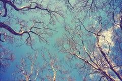 注视着悬铃树不生叶的上面  库存图片