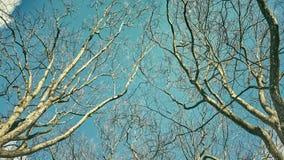 注视着悬铃树不生叶的上面  免版税库存照片