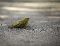 注视远离照相机的黄色鸟 库存照片