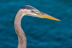 注视鱼的蓝色苍鹭 免版税库存图片