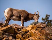 注视直接地观察者的母大角野绵羊 免版税库存图片