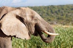 泪花在天堂-非洲人布什大象 库存照片