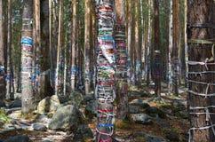 泪花神圣的树丛  Zalaal -磁带,被栓对树 Arshan村庄,布里亚特共和国 免版税图库摄影
