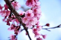 泰国佐仓桃红色花在ChiangMai, Ang Khang 免版税库存图片