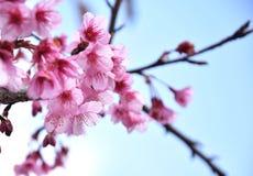 泰国佐仓桃红色花在ChiangMai 免版税库存图片