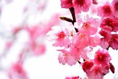 泰国佐仓桃红色花在ChiangMai 免版税图库摄影