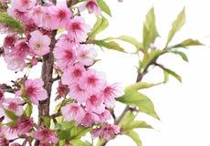 泰国佐仓桃红色花在ChiangMai 图库摄影