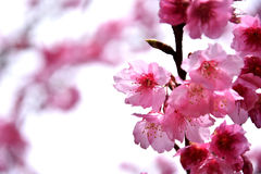 泰国佐仓桃红色花在ChiangMai 库存照片