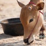 泰国公母牛 库存照片