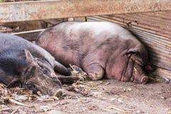 泰国公猪睡眠 免版税图库摄影