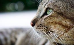 泰国地方猫 库存照片