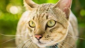 泰国地方猫 免版税库存照片