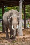 泰国大象特写镜头 库存图片