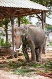 泰国大象特写镜头 免版税库存照片