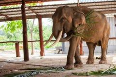 泰国大象特写镜头 库存照片