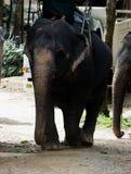 泰国女性大象 图库摄影