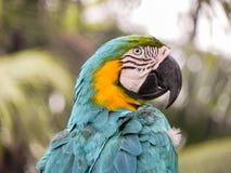 泰国密林的美丽的金刚鹦鹉 免版税库存图片