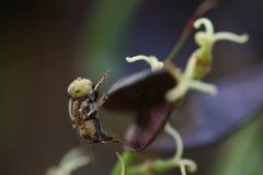 泰国异乎寻常的臭虫蜂 免版税库存照片