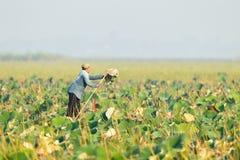 泰国当地伙计收集waterlily叶子 图库摄影