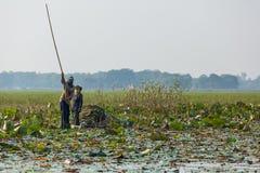 泰国当地伙计收集waterlily叶子 库存照片