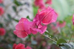 泰国桃红色开花的花 库存照片