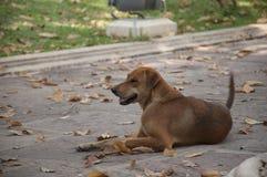 泰国棕色混杂的品种狗 免版税库存照片