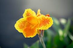 泰国橙色和黄色Canna 免版税库存照片