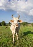 泰国母牛在草甸 免版税库存照片