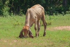 泰国母牛,东北,泰国。 库存照片