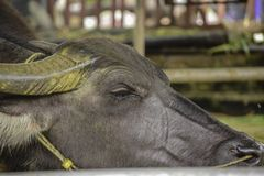 泰国水牛或水牛在槽枥 库存图片