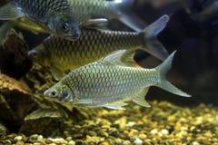 泰国河鱼 免版税库存图片